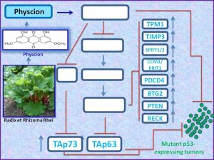 physcion-induces-the-expression-of-tap73-to-regress-mutant-p53-exp-tumors