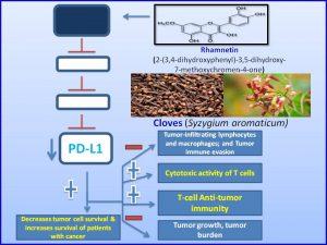 rhamnetin-decreases-pdl1-expression-and-inhibits-tumor-progression