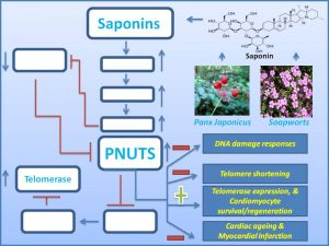 Figure 3. Mechanistic insights into how Saponin induces the expression PNUTS and Telomerase to promote Cardiac regeneration/survival