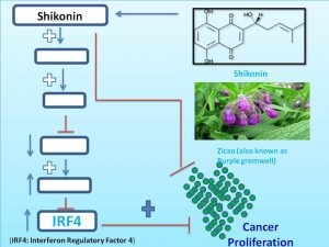 shikonin-increases-the-expression-of-irf4