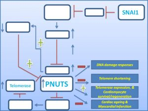 snail-increases-pnuts-expression-and-prevents-myocardial-infarction