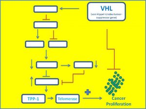 vhl-suppresses-tpp1-and-telomerase-expression1