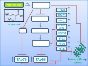 valproci-acid-induces-the-expression-of-tap73-to-regress-mutant-p53-exp-tumors