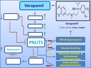 verapamil-induces-pnuts-expression-to-promote-cardiomycyte-regeneration