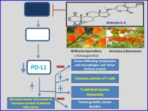 withaferin-a-inhibits-pdl1-expression