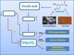 ferulic-acid-promote-cardiomyocyte-regeneration