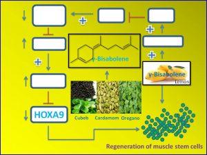 g-bisabolene-promotes-muscle-stem-cell-regeneration-via-down-regulation-of-hoxa9