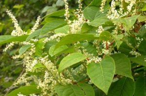 japanese-knotweed-contains-emodin