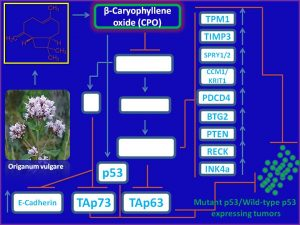 β-Caryophyllene oxide (CPO) induces p73 and p63 and promote tumor regression