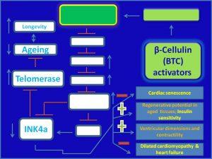 β-Cellulin (BTC) inhibits INK4a expression