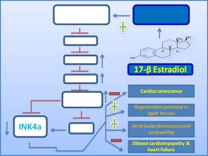 17-%ce%b2-estradiol-inhibits-ink4a-expression-and-dilated-cardiomyopathy