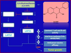 3, 6 dihydroxy flavone inhibits Lats1.2 expresison