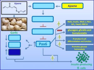 ajoene-induces-pax6-expression