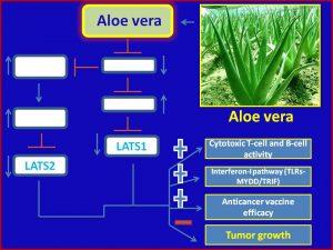 aloe-vera-inhibits-lats1-2-expression-to-promote-antitumor-immunity