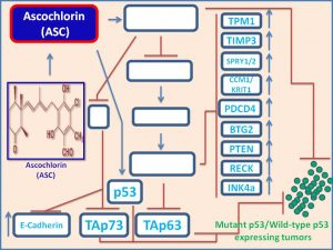 Ascochlorin increases the expresiosn of p53 homologs p73 and p63 in cancer cells