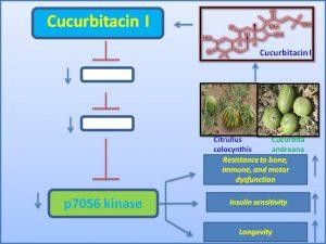 Cucurbitacin I inhibits p70 S6 Kinase and extends lifespan