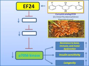 ef24-inhibits-p70-s6-kinase-expression-and-extends-lifespan