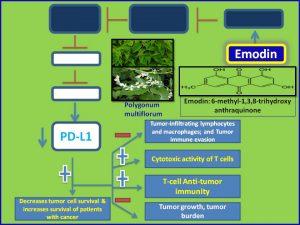 emodin-inhibits-pdl1-expression-to-promote-antitumor-immunity