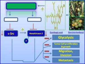 Gambogic acid inhibits cSrc expresison and cancer progression