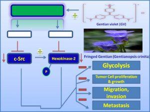 Gentian violet (GV) inhibits c-Src expression