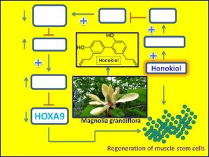 honokiol-pormotes-regeneration-of-muscle-stem-cells-by-suppressing-hoxa9-expression