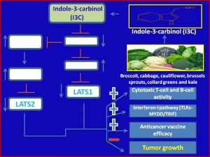 Indole-3-carbinol (I3C) suppresses Lats1.2