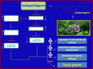 Isoliquiritigenin inhibits LATS1 expression