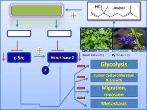 linalool-inhibits-c-src-and-hexokinase-2-expression