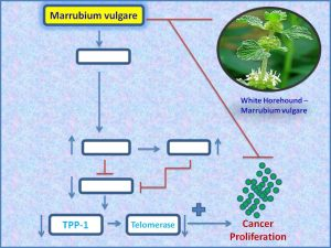 Marrubium vulgare inhibits telomerase expression