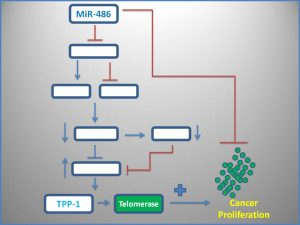 mir-486-suppresses-telomerase-expression
