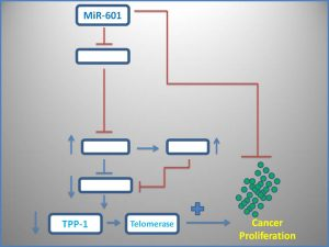 mir-601-suppresses-the-expression-of-tpp1-and-telomerase