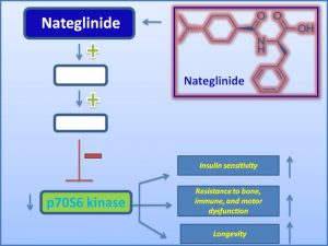 Nateglinide inhibits p70S6 kinase and extends mammalian lifespan