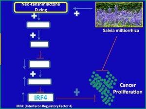 neo-tanshinialactone-dring-increases-irf4-activation