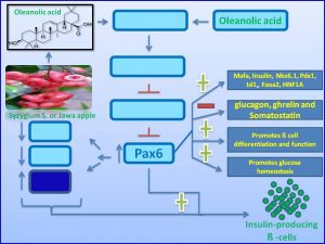 oleanolic-acid-increases-pax6-expression-to-promote-proliferaiton-of-insulin-producing-cells