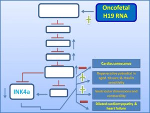 oncofetal-h19rna-suppresses-ink4a-expression-to-inhibit-dilated-cardiomyopathy