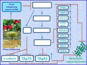 panx-noginseng-induces-tap73-tap63-and-other-tumor-suppressors