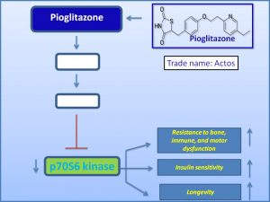 pioglitazone-suppresses-p70-s6-kinase-expression-and-extends-lifespan