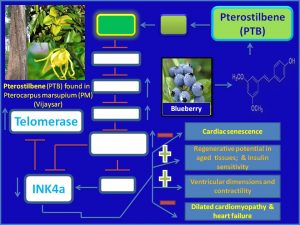 Pterostilbene increases Telomerase expression and inhibits dilated cardiomyopathy