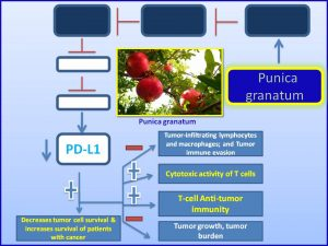 punica-granatum-suppresses-pdl1-expression