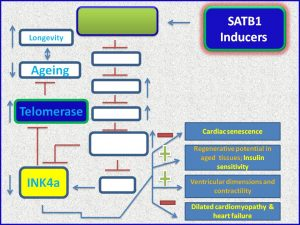 SATB1 inhibits INK4a expression, cardiac senescence and dilated cardiomyopathay