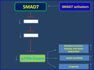 SMAD7 suppresses p70S6 kinase expression