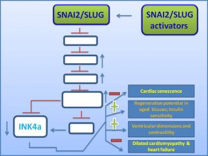 snai2-slug-inhibits-ink4a-expression-and-protects-it-from-dilated-cardiomyopathy