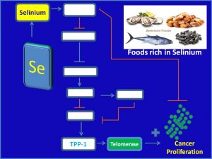 Selinium inhibits TPP1 and Telomerase expression