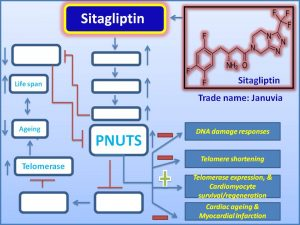 sitagliptin-increases-pnuts-expression-and-ameliorates-myocardial-infarction