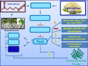 Sulforaphane increases pax6 and inhibits insulin resistance