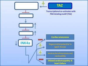 taz-suppresses-ink4a