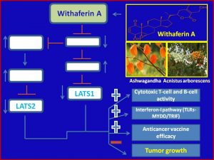 withaferin-a-inhibits-lats1-2-expression-to-promote-anticancer-immmunity