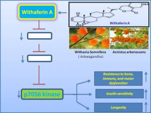 withaferin-a-suppresses-the-expression-of-p70s6-kinase