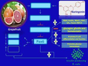 naringenin suppresses Pax6 expression