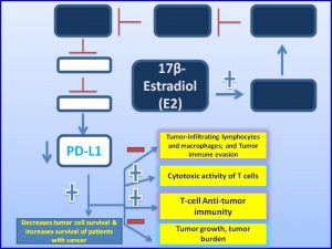 17β-Estradiol (E2) inhibits PDL1 expression and promote tumor regression